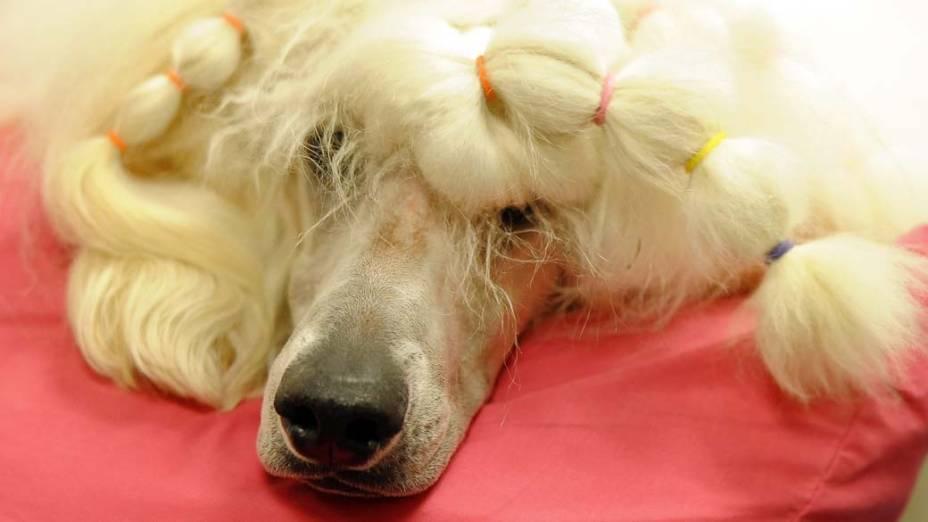 """Poodle durante preparação para o 136º Show de Cães do Clube """"Westminster Kennel"""" em Nova York"""