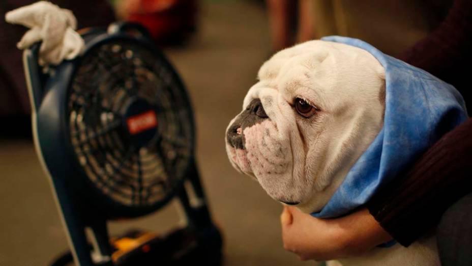"""Bulldog durante preparação para o 136º Show de Cães do Clube """"Westminster Kennel"""" em Nova York"""