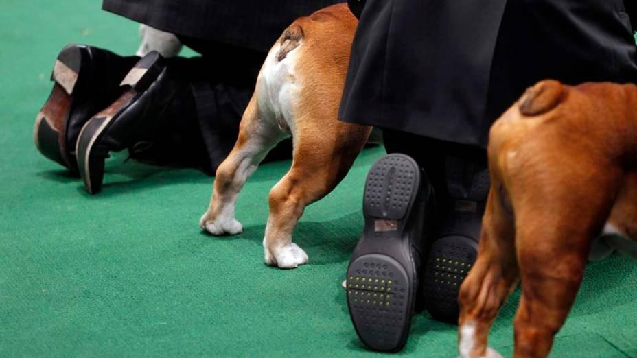 """Bulldogs e seus treinadores durante competição para o 136º Show de Cães do Clube """"Westminster Kennel"""" em Nova York"""