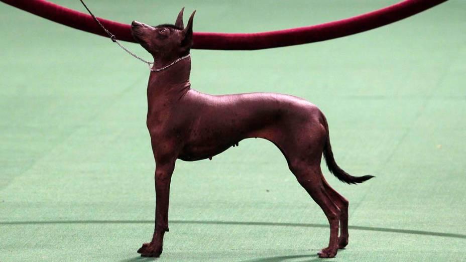 """Cão da raça Xoloitzcuintli durante o 136º Show de Cães do Clube """"Westminster Kennel"""" em Nova York"""