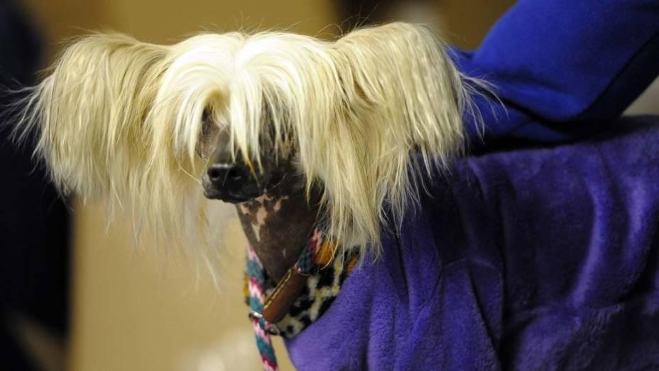 """Cão cristado chinês durante o 136º Show de Cães do Clube """"Westminster Kennel"""" em Nova York"""