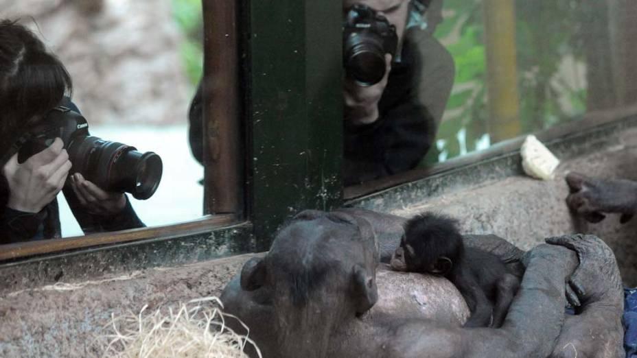 Filhote de chimpanzé com sua mãe no zoológico Bratislava, Eslováquia