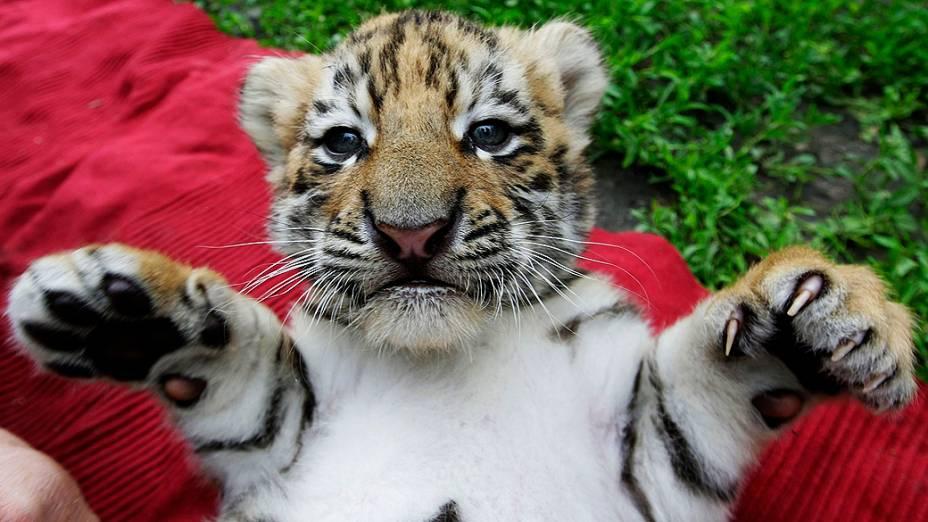 Filhote de tigre siberiano de apenas um mês e meio de vida brinca em zoológico particular em Abony, a leste de Budapeste, na Hungria. Os tigrinhos nasceram na Alemanha, e foram para a Hungria com apenas 2 semanas e meia de vida, pois a mãe deles ficou doente e não conseguia mais alimentá-los