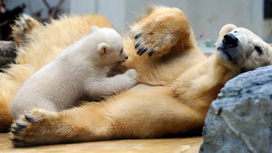 Ursos polares são vistos em zoológio de Wuppertal, na Alemanha