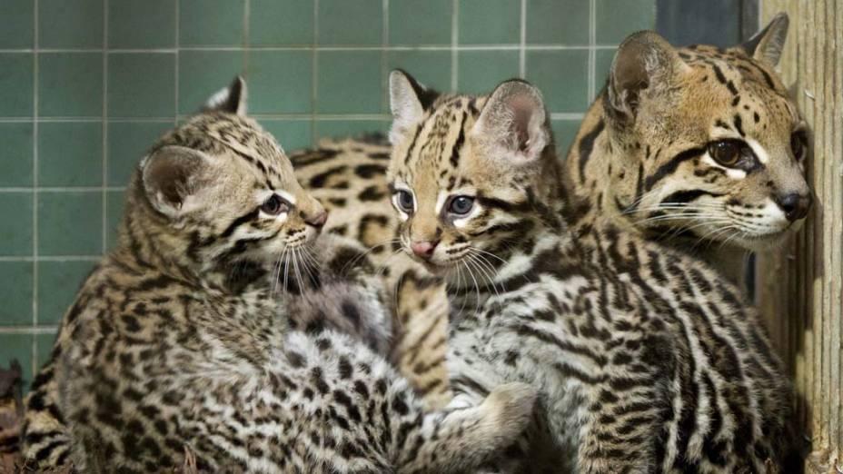 Filhotes de ocelot (da família dos leopardos) em zoológico de Berlim