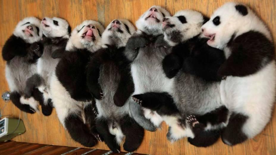 Filhotes de panda no centro de pesquisa sobre a espécie em Chengdu, na China