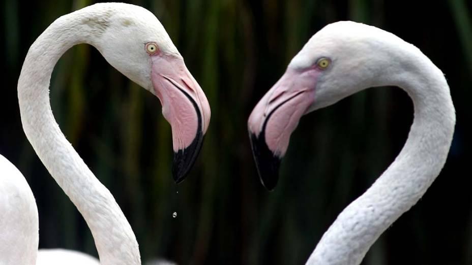 Flamingos no zoológico de Bristol, Inglaterra