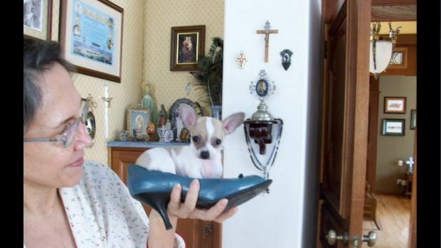 """Atriz Florinda Meza nos dias de hoje com um dos cachorros do casal. """"Pancho [nome do cão] com 3 meses dentro de um sapato de Florinda"""", Roberto Bolaños"""