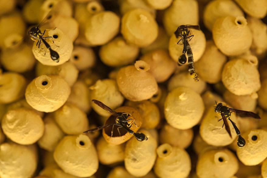 Vespas parasitas constroem casulos de argila para proteger seus ovos, em Brunei