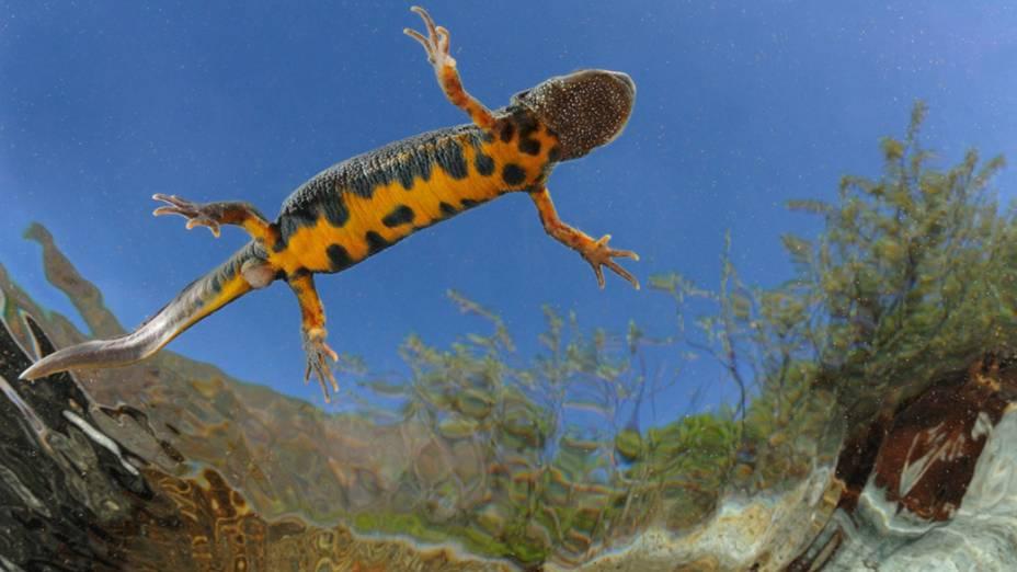 Uma salamandra listrada é fotograda de dentro da água nadando em um charco, na Itália
