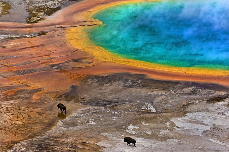 Bisões são vistos caminhando ao lado de águas termais coloridas por bactérias, no Parque Nacional de Yellowstone, nos Estados Unidos