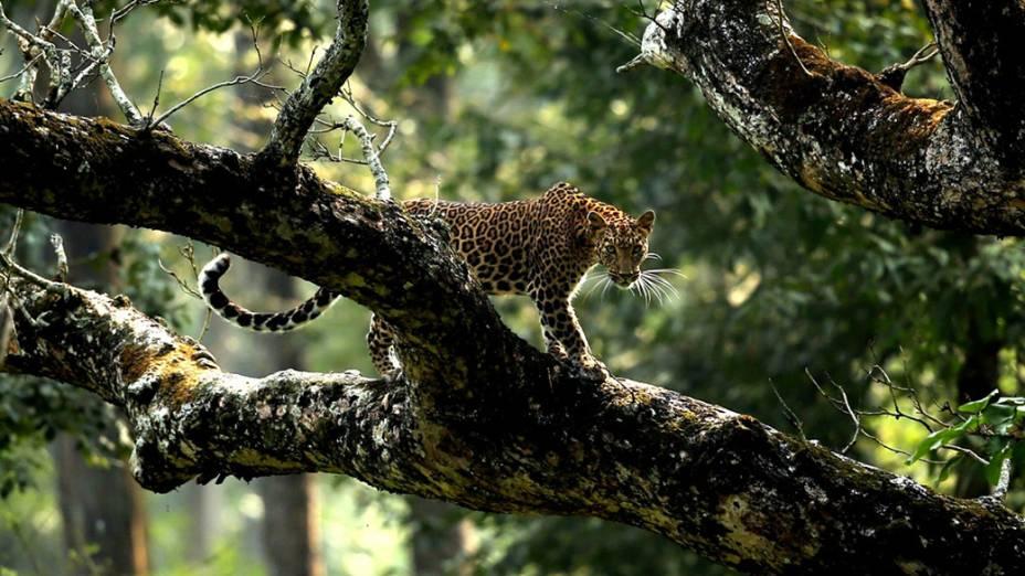 Um leopardo é fotografado sob árvores em Karantaka, na Índia