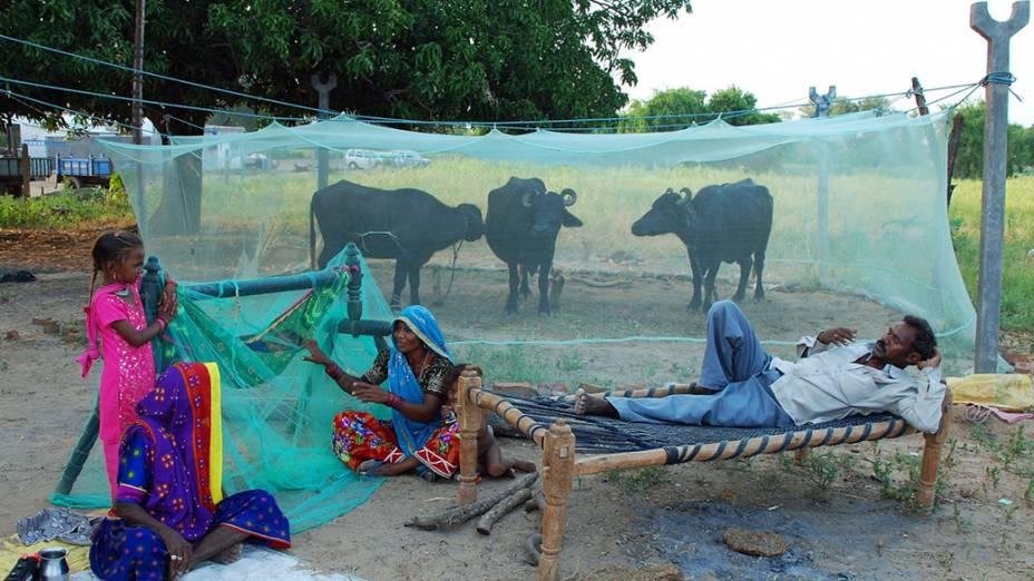 Um fazendeiro cria búfalos no quintal de sua casa em Gujarate, na Índia