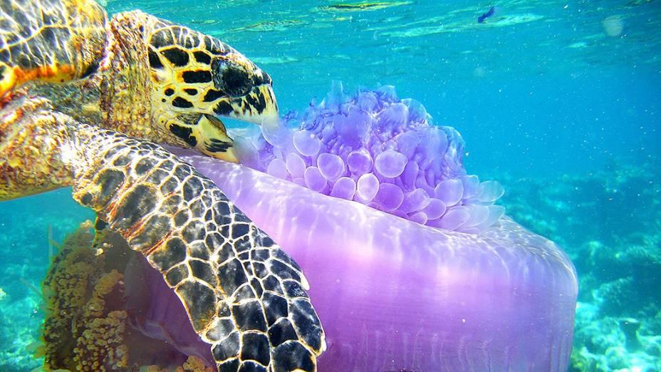 Uma tartaruga marinha se alimenta de uma água-viva em um recife no atol de Ari,, nas Maldivas
