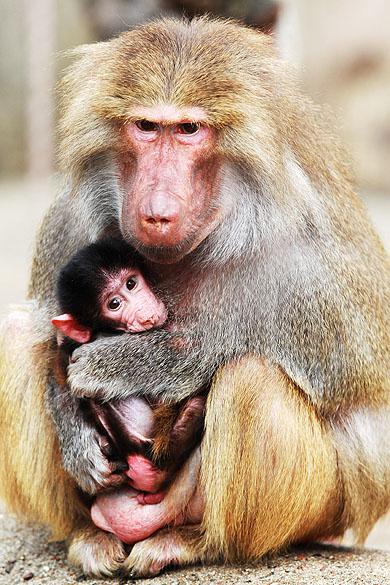 Filhote de macaco babuíno nos braços de sua mãe no zoológico Hagenbeck em Hamburgo, Alemanha