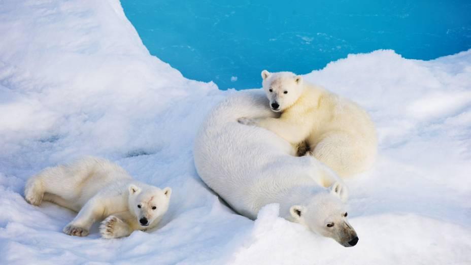 Fêmea de urso polar descanso com seus filhotes sobre um bloco de gelo à deriva no mar de Barents ao norte de Svalbard, Noruega
