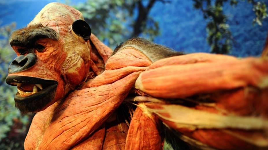 Gorila durante a exposição Body World Animals no zoológico de Colônia, Alemanha. A mostra criada pelo artista Gunther von Hagens exibe músculos, órgãos internos e outros aspectos físicos através de um processo de conservação do corpo dos animais