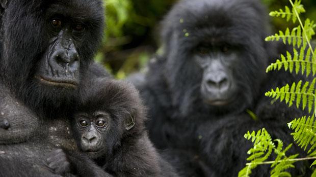 Gorilas no parque nacional de Virunga, na República Democrática do Congo