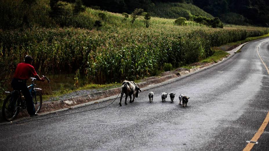 Agricultor pedala ao lado de uma leitoa e seus filhotes por uma via de Chajul, a oeste da Cidade da Guatemala