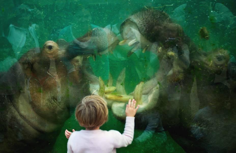 Hipopótamos brincam na piscina de um zoológico na Alemanha
