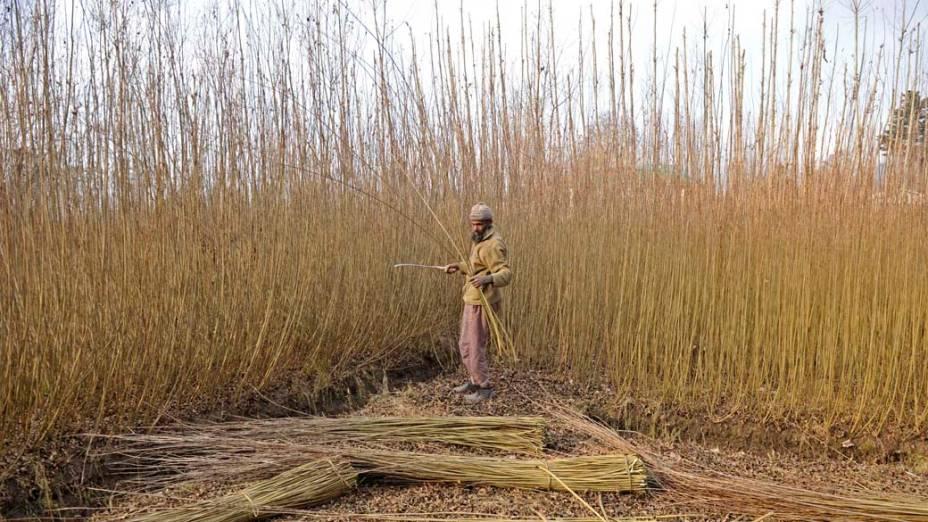 Homem corta árvores de vime na fronteira de Srinagar, Índia