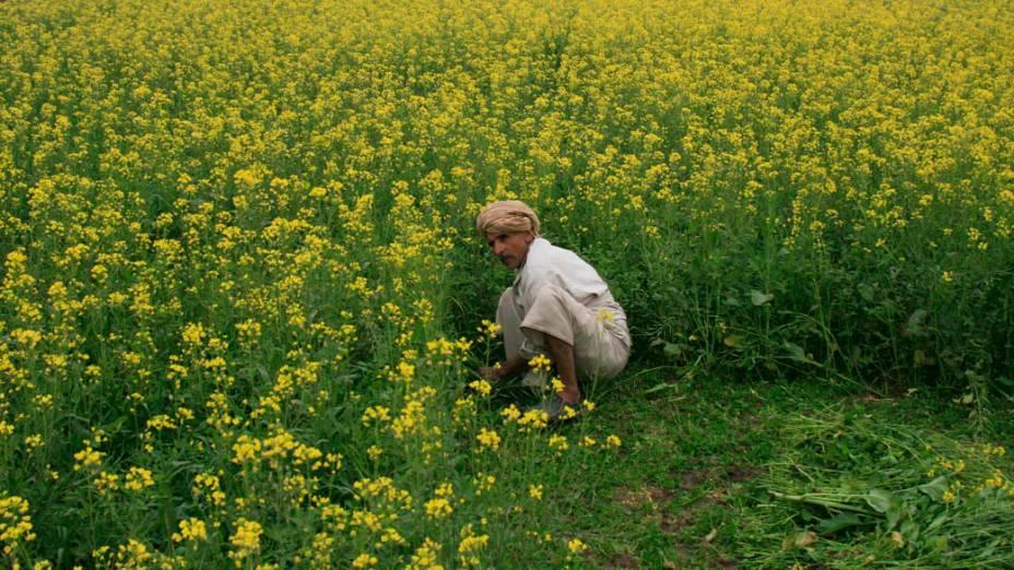 Homem trabalha em plantação de mostarda em Faisalabad, Paquistão