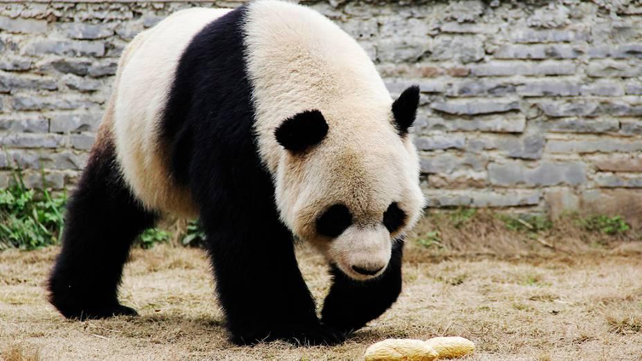 O panda gigante Xinghui é fotografado em seu ambiente no Centro de Criação Dujiangyan, na China, nesta quarta-feira (19)
