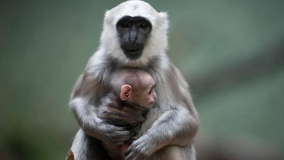 Filhote de langur cinzento, espécie de macaco mais encontrada no sul da Ásia, é visto em zoológico de Berlim