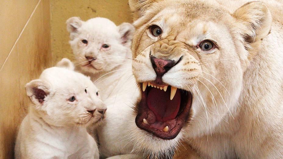 Filhotes de leão branco foram fotografados ao lado de sua mãe em um zoológico particular de Borysew, na Polônia