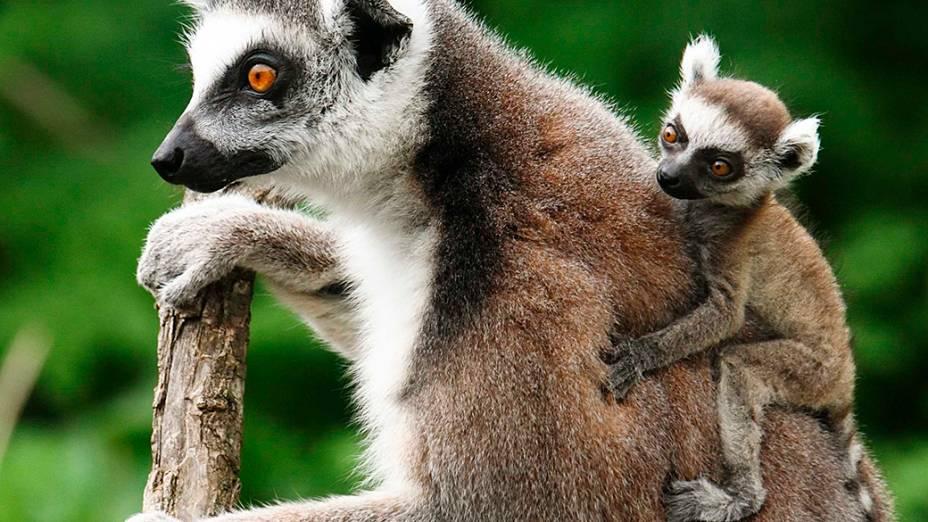 Filhote de Lêmure carregado por um adulto em uma árvore do zoológico Schoenbrunn em Viena, na Aústria