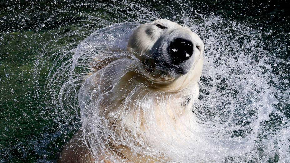 Uslada, urso polar branco de 27 anos, sacode a cabeça na piscina do zoológico de Leningrado, em São Petersburgo