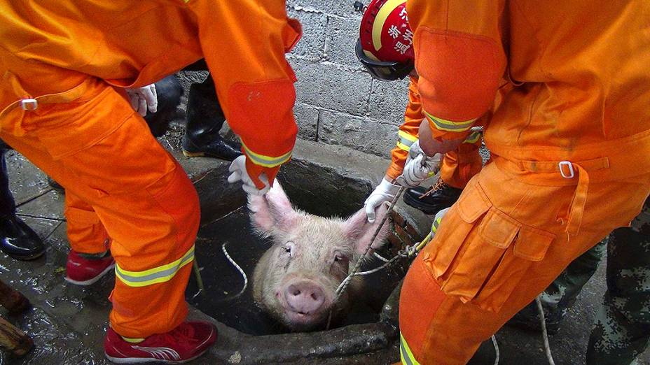 Bombeiros tentam resgatar um porco de 300 quilos que caiu no poço de uma fazenda em Leqing, na província de Zhejiang, na China
