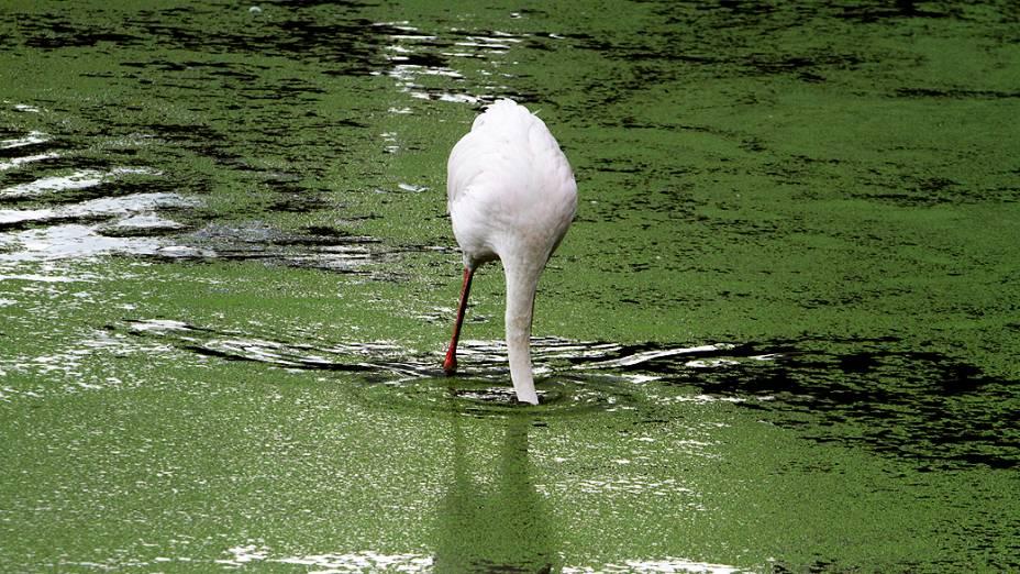 Um colhereiro-africano é fotografado no lago do parque aviário Kuimba Shiri, perto de Harare, no Zimbábue