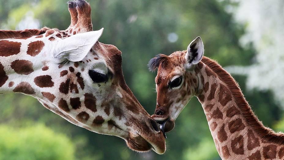 Filhote de girafa lambe sua mãe no zoológico de Friedrichsfelde, em Berlim, nesta sexta-feira (09)