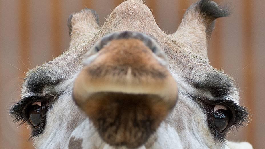Girafa é fotografada no zoológico deKronsberg. região central da Alemanha