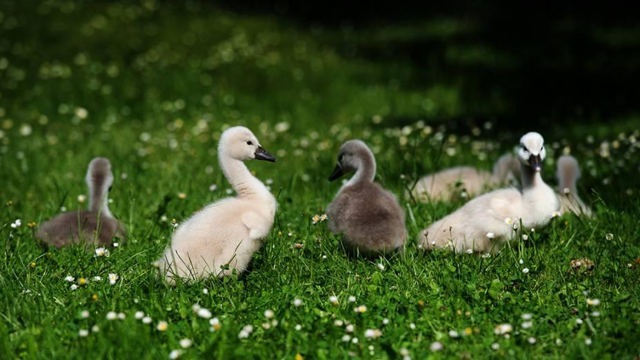 Filhotes de pato são fotografados no parque Grossen Garten, na cidade de Dresden, Alemanha