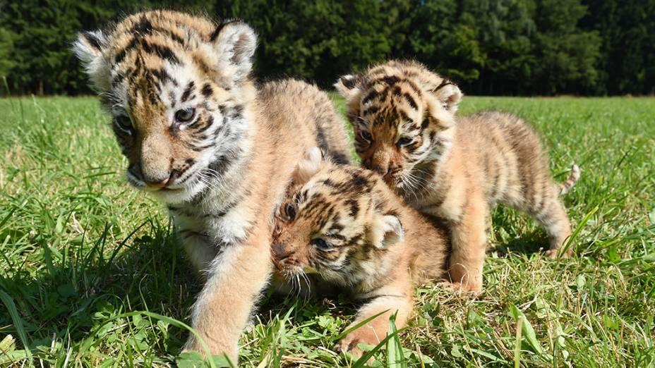 Filhotes de tigres de bengala são fotografados emOchenhausen, ao sul da Alemanha