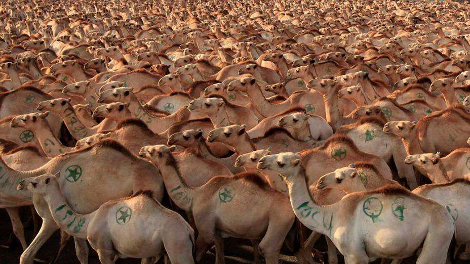 Dromedários são vistos antes de serem exportados para países do Oriente Médio, na zona de carga no porto de Mogadíscio, no Somália