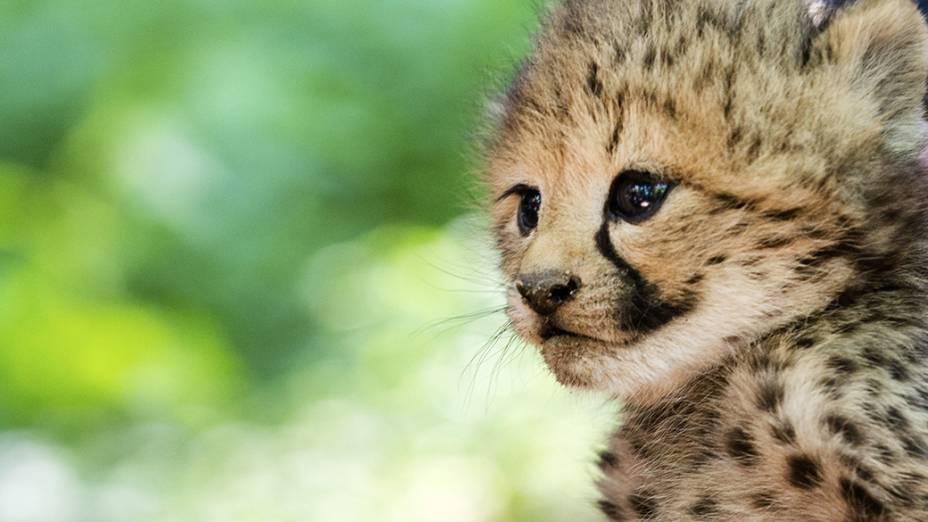 Um dos seis filhotes de guepardo é fotografado nozoológico de Burgers, na Holanda;os sêxtuplos raros nasceram no dia 24 de maio, massão mostrados pela primeira vez ao público