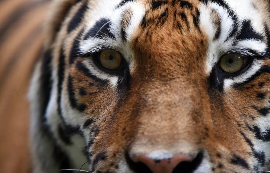 Tigre é visto em zoológico de Muenster, na Alemanha