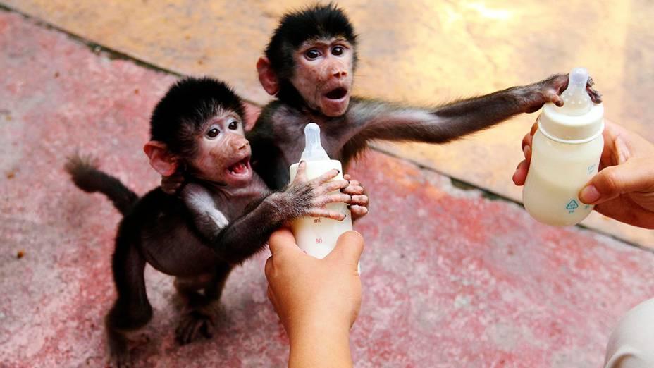 Filhotes de babuíno agarraram mamadeiras oferecidas por um cuidador do zoológico em Hangzhou, na província chinesa de Zheijang
