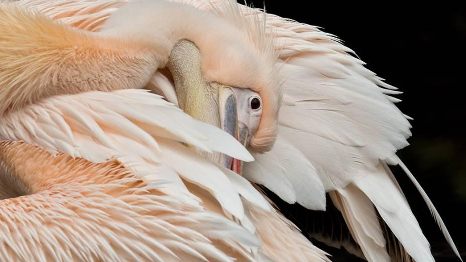 Pelicano é visto em zoológico de Frankfurt, na Alemanha