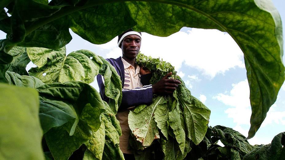 Trabalhador Jeremia Masuku colhe tabaco naFazendaMupfudze em Featherston, ao sul da Harare, capital do Zimbábue