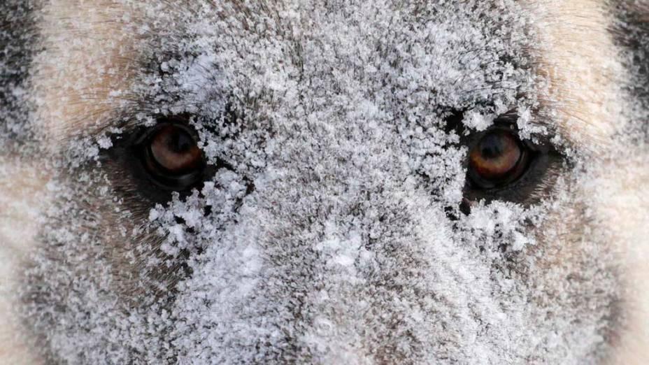 Cachorro durante nevasca em Krasnoyarsk, na Rússia
