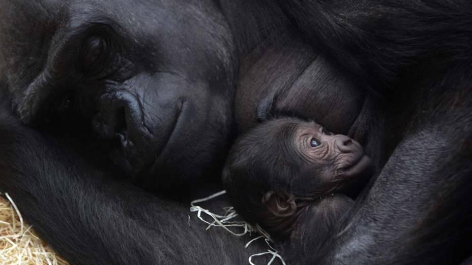 Gorila segura seu filhote nos braços no zoológico de Praga, na República Checa