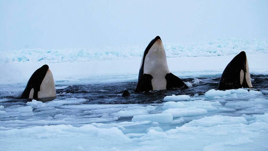 Três orcas aparecem na superfície da água na baía de Hudson, perto da comunidade de Inukjuak, em Québec, no Canadá
