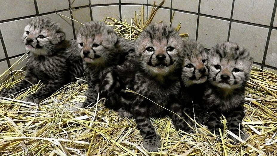 Zoológico de Tama, no Japão, apresenta cinco filhotes de leopardo real que nasceram na última quarta-feira (6)