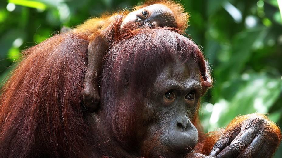 Orangotango com um mês de vida descansa nos ombros de sua mãe, Miri, no Zoológico de Cingapura
