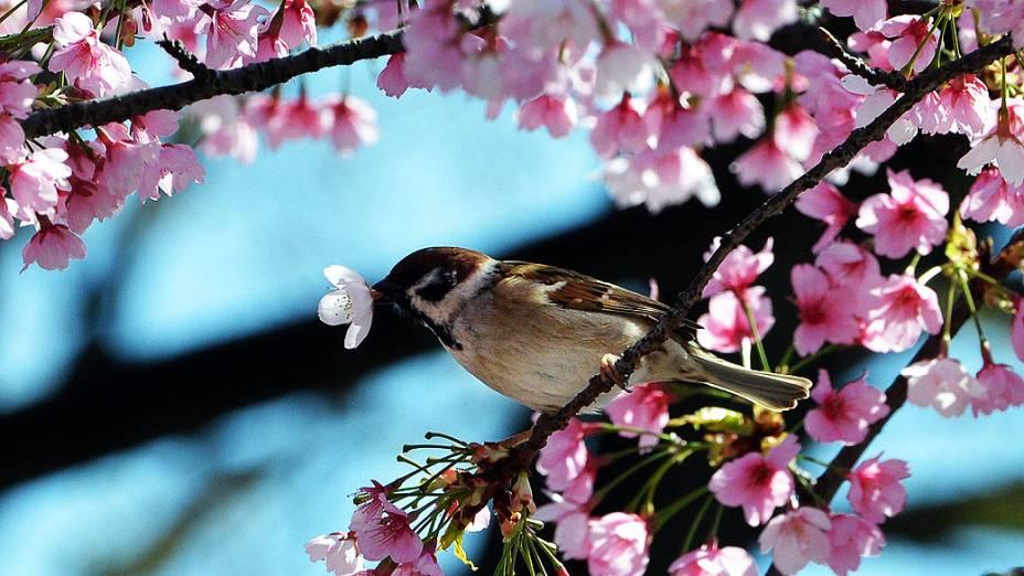 Passarinho é fotografado em árvore florida em parque de Tóquio, no início da primavera no Japão