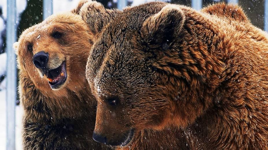 Ursos pardos são vistos cobertos por neve no Zoológico e Jardim Botânico de Budapeste durante primeiro dia da primavera, na Hungria